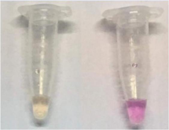 Chủng Helicobacter pylori DN18 và dòng tế bào AGS