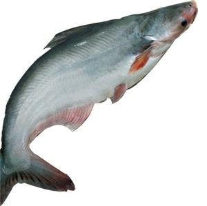 Tách chiết và tinh chế colagen từ da cá tra