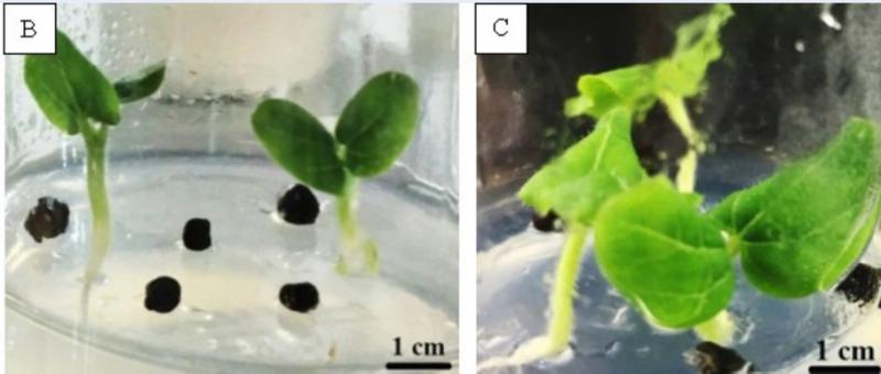 Tạo rễ trong nuôi cấy in vitro cây sâm bố chính
